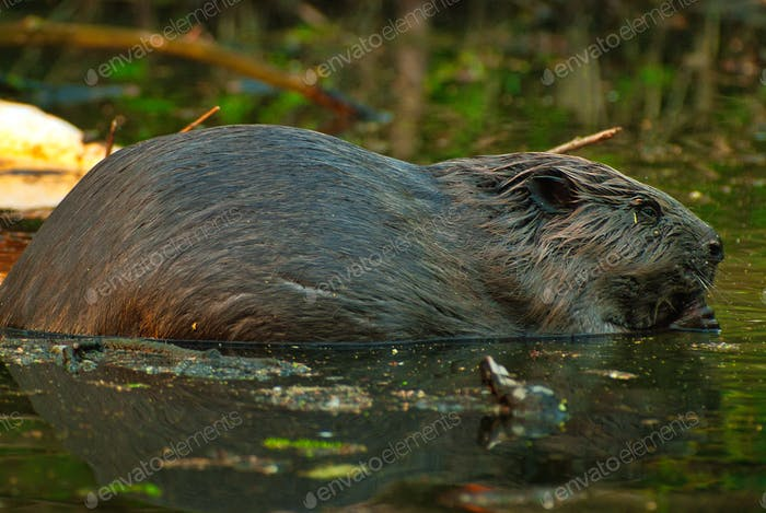 The European beaver (Castor fiber) eats a branch sitting in the water