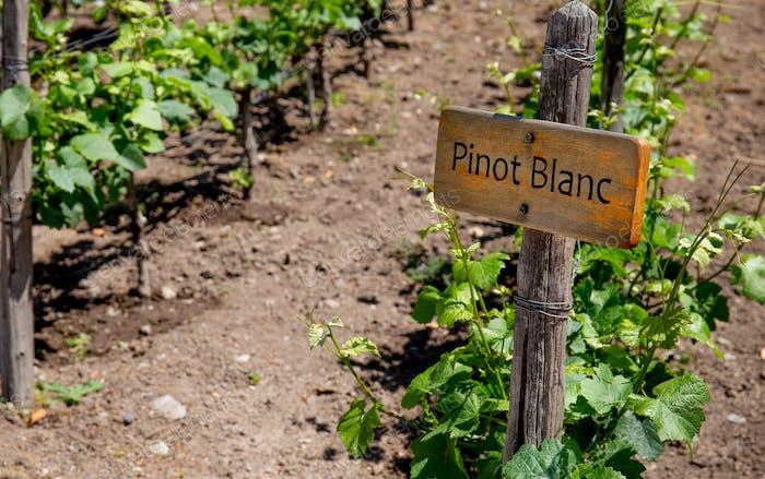 PINOT BLANC Weinschild auf Weinberg. Weinberg Landkap
