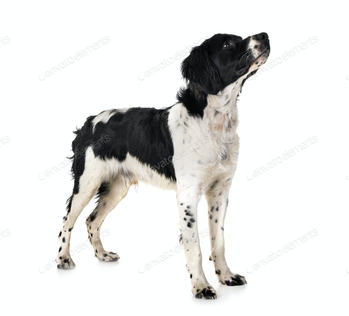 Бретань собака в студии