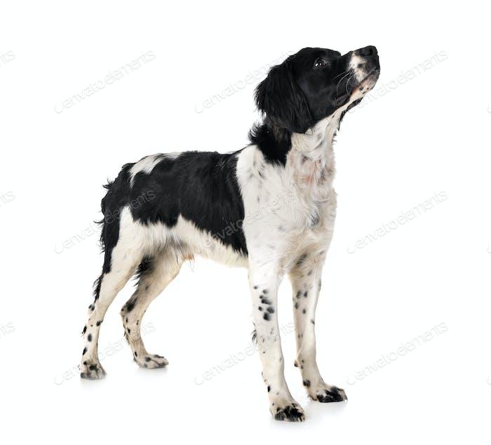 Bretagne Hund im Studio
