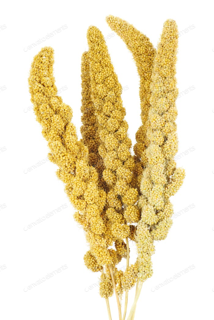 Bird food: dried green foxtail plant isolated on white background