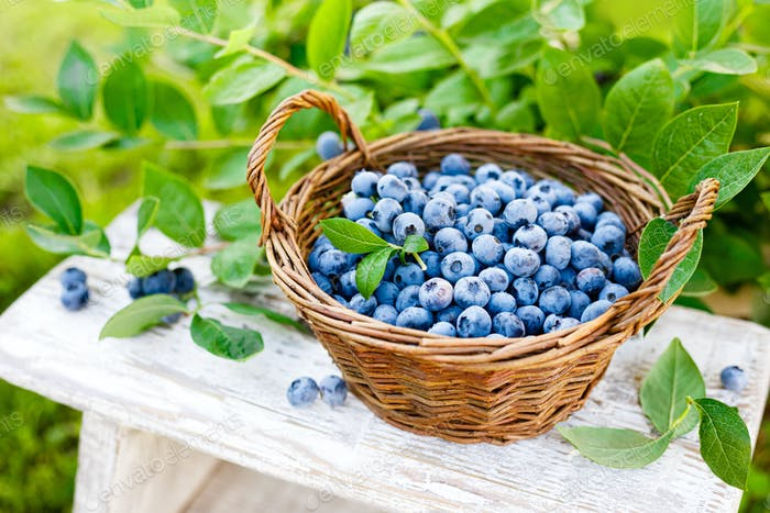 Blueberry. Fresh berries with leaves in basket in a garden. Harvesting blueberry