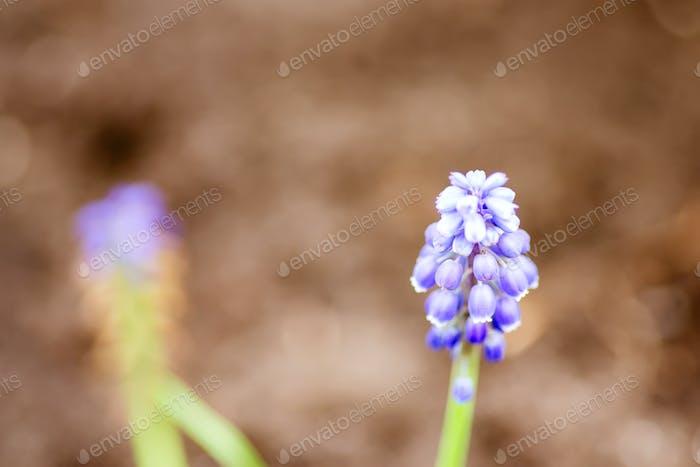 Nahaufnahme frische schöne Blume Traubenhyazinthe auf einem verschwommenen natürlichen Hintergrund