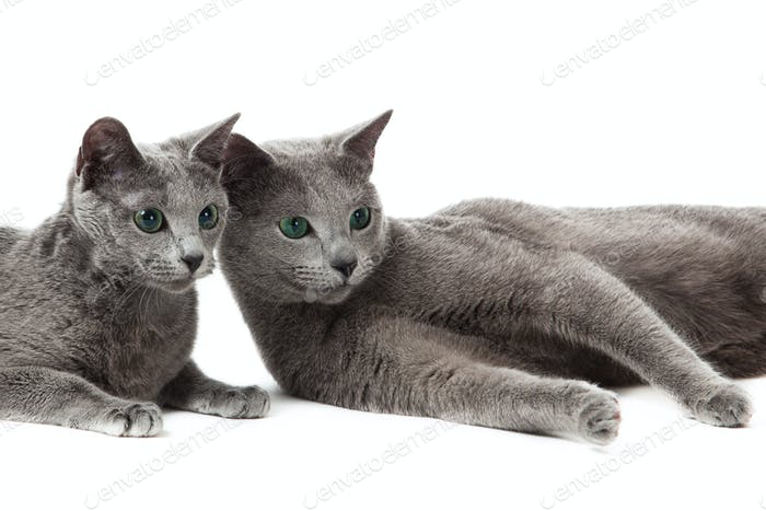 Russian Blue cat on white .