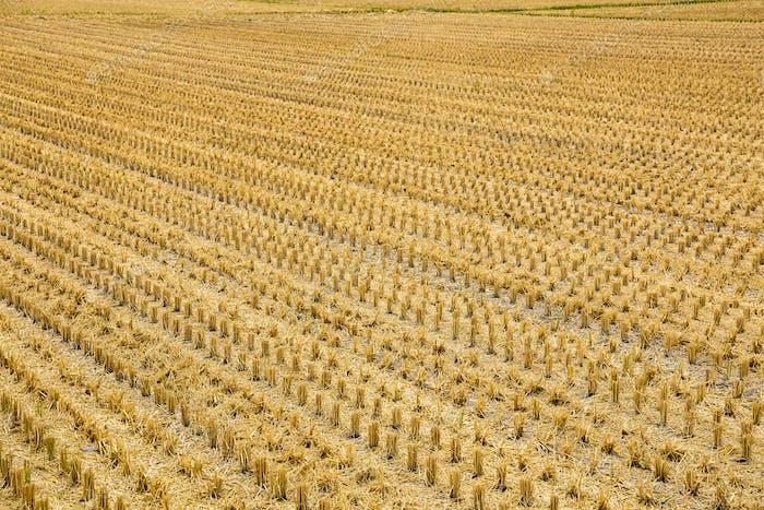Wilt paddy rice field