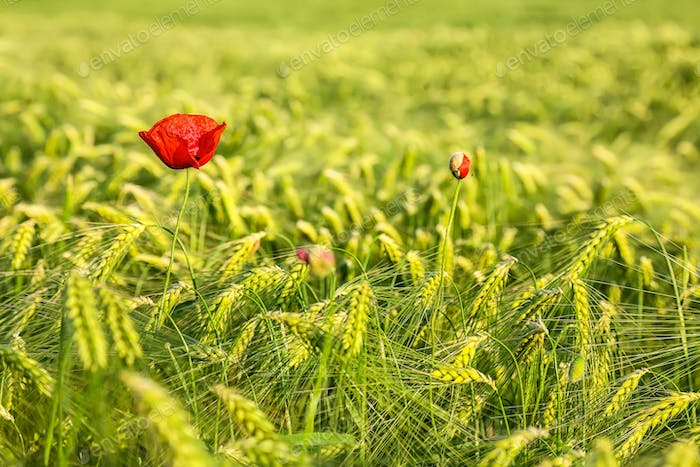 Red poppy in the background of a wheat field