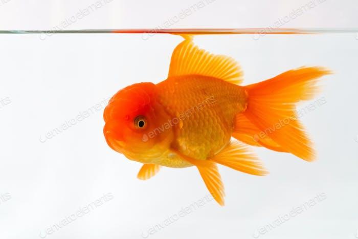 goldfish closeup on the underwater