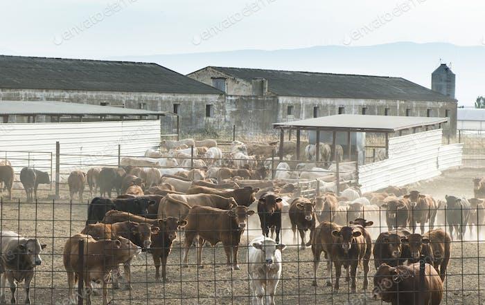 Bullen in einem Bauernhof