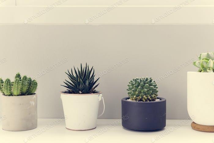 Pots of Cactus for Decoration