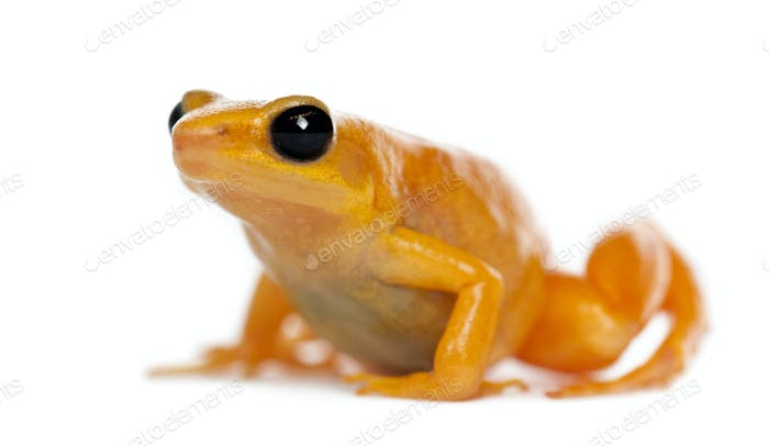 Golden Mantella, Mantella aurantiaca, portrait against white background