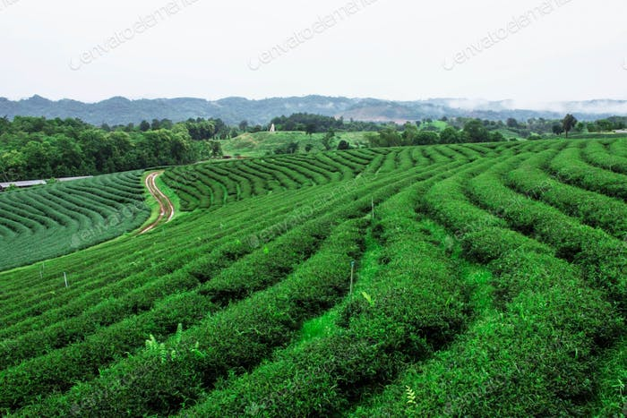 Tea plantation with a refreshing