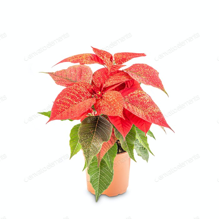 Beautiful poinsettia in flowerpot