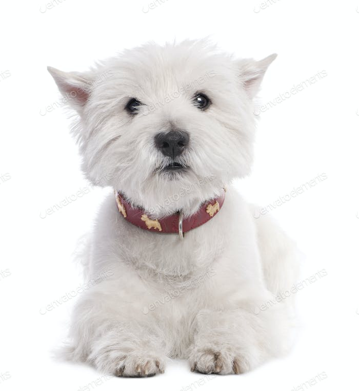 West Highland White Terrier (8 years old)