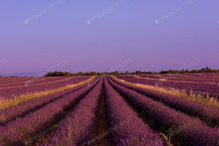 levender field france
