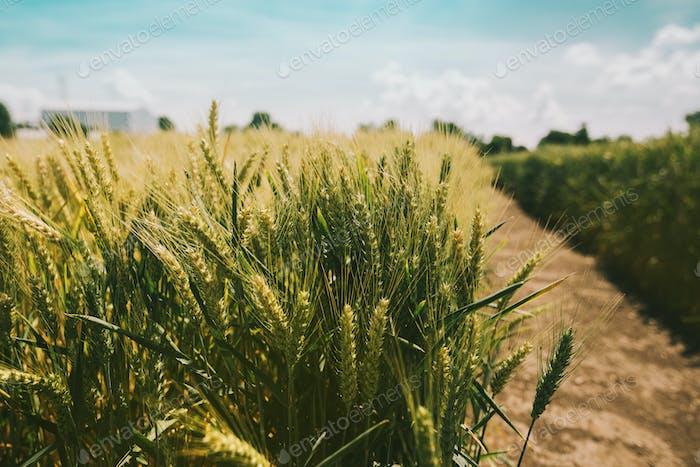Picturesque vivid wheat field landscape