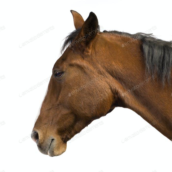 Horse (11 years)