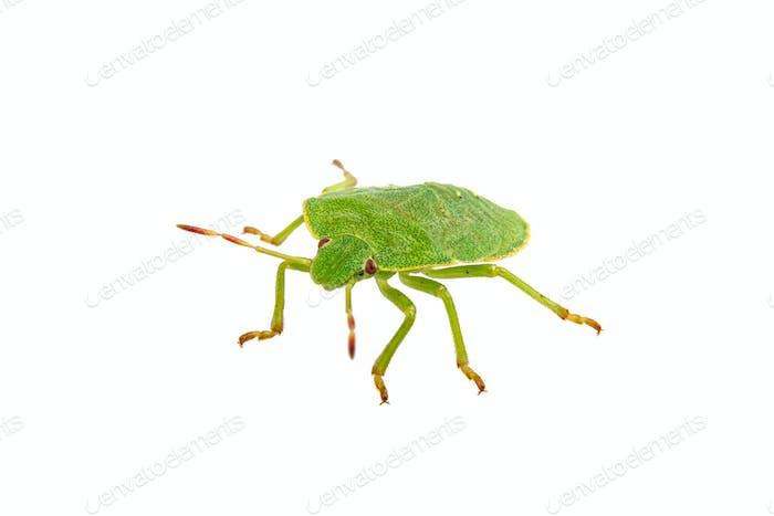 Bicho escudo verde sobre Fondo blanco