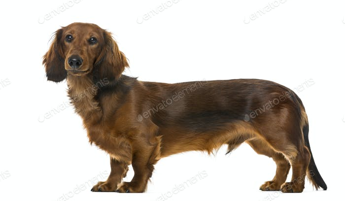 Puppy Dachshund standing, 6 months old , isolated on white