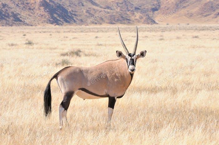Oryx in Graslandschaft