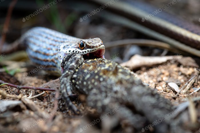 A western strip-bellied sand snake swallowing a tree agama lizard.