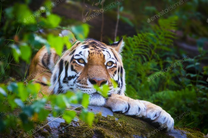 Amur tiger resting in the forest