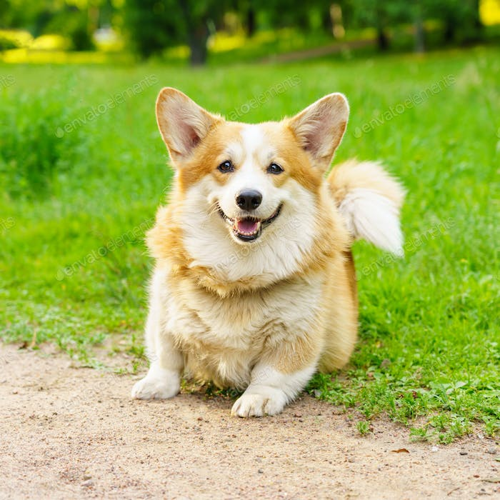 Adorable active purebred Welsh Corgi dog playing on green grass in park
