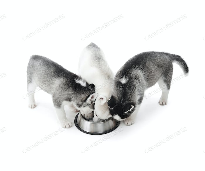 Funny puppies siberian husky dogs eating from plate