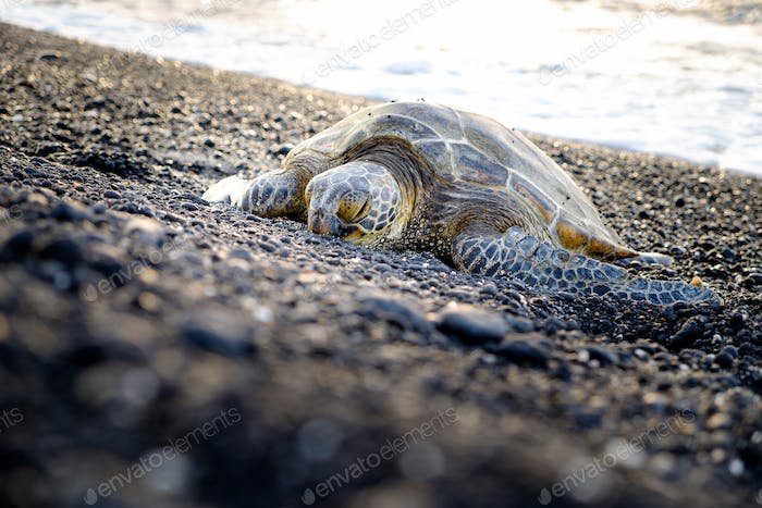 Sea turtle crawling on the rocky beach, Hawaii