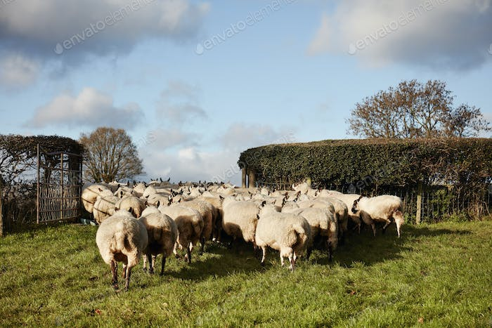 A flock of sheep moving through a gate into a field.