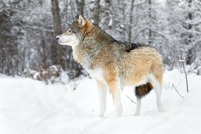 Focused alpha male wolf stands in the snow in beautiful winter forest