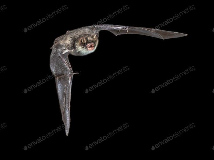 Isolated Flying natterers bat on black background