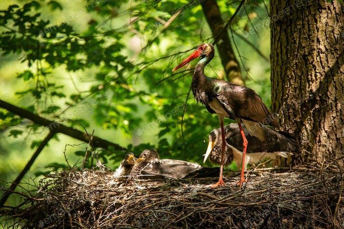 Family black stork standing in nest on summer light