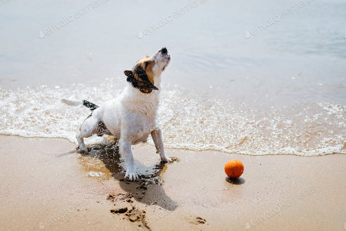 Funny dog Jack Russell Terrier out of the water and shakes on a sandy beach.