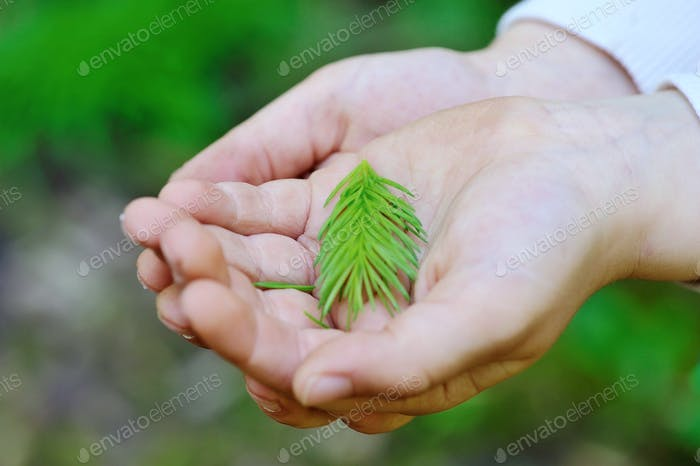 Closeup young spruce branch in children's hands