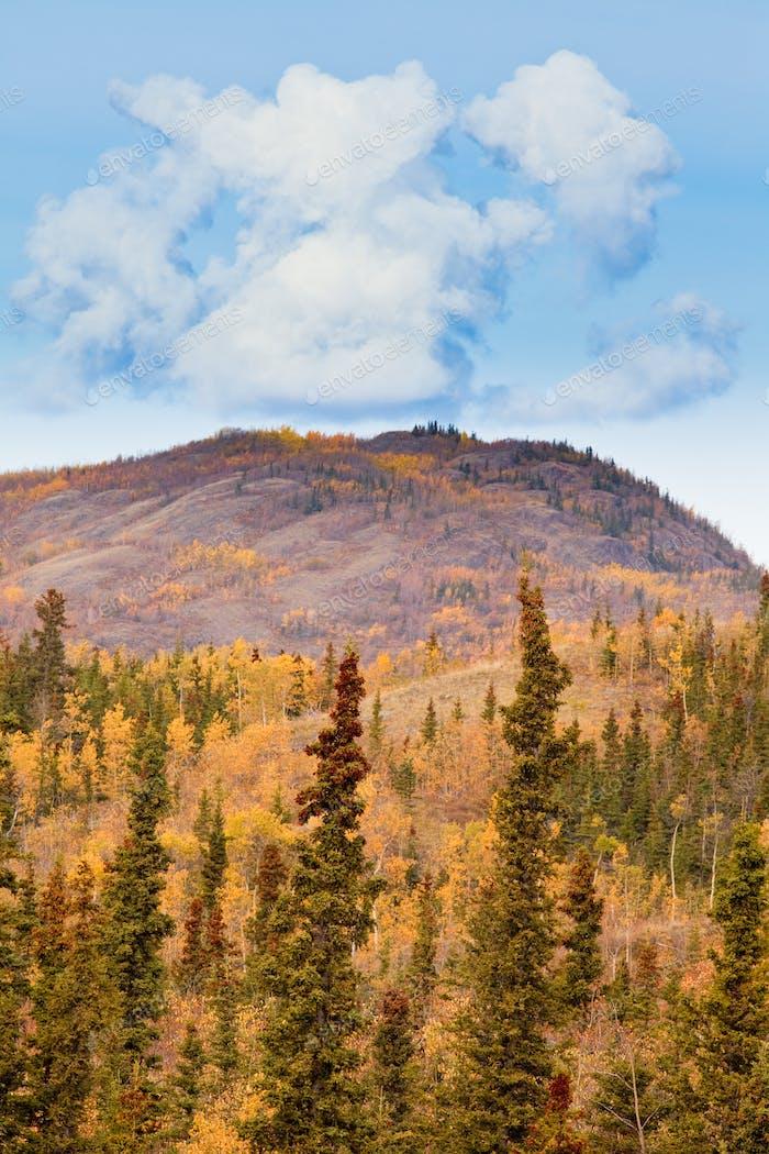 Golden boreal forest taiga autumn Yukon Territory Canada