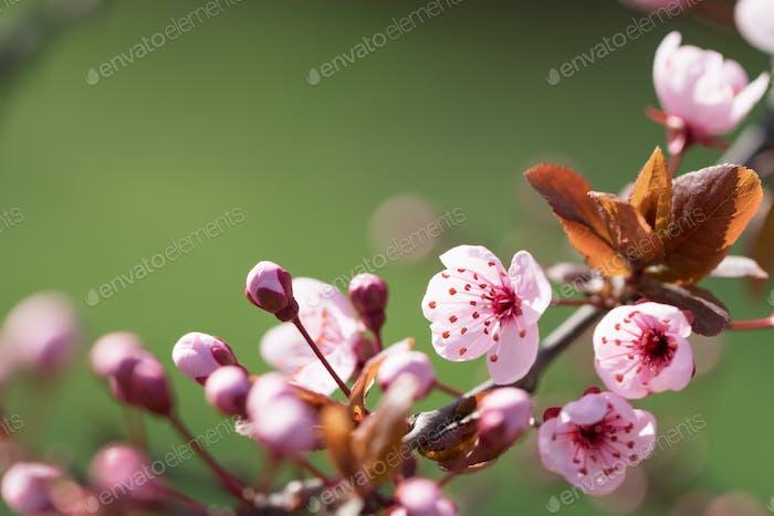 Blooming plum tree.
