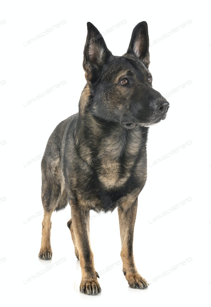 gray german shepherd