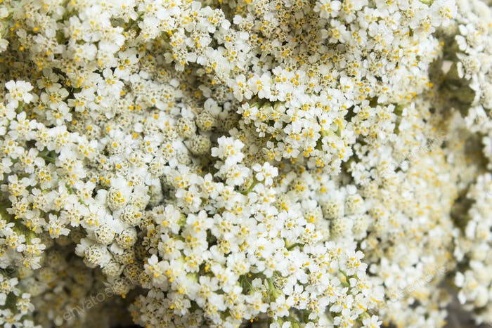 Yarrow, Achillea Millefolium as a Background