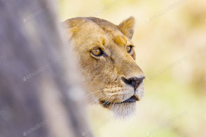 Focused lion stands behind a tree in Africa