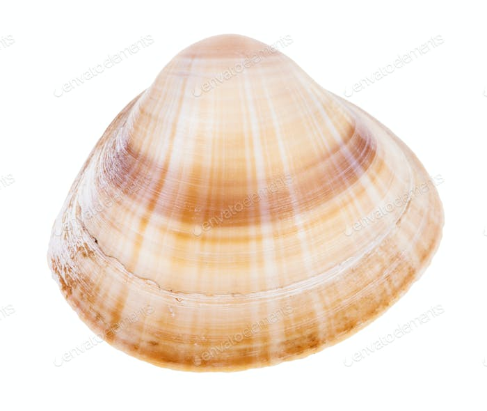 striped light brown shell of clam isolated