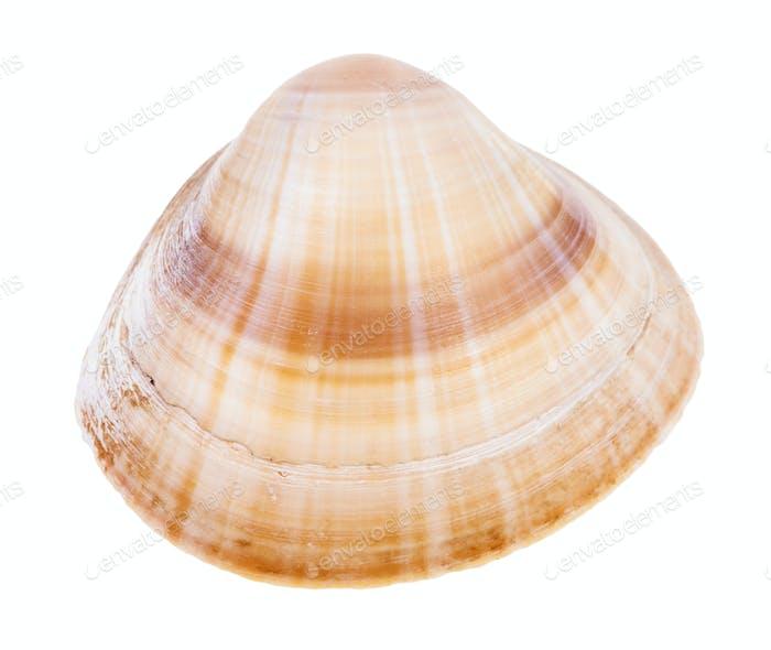 gestreifte hellbraune Muschel isoliert