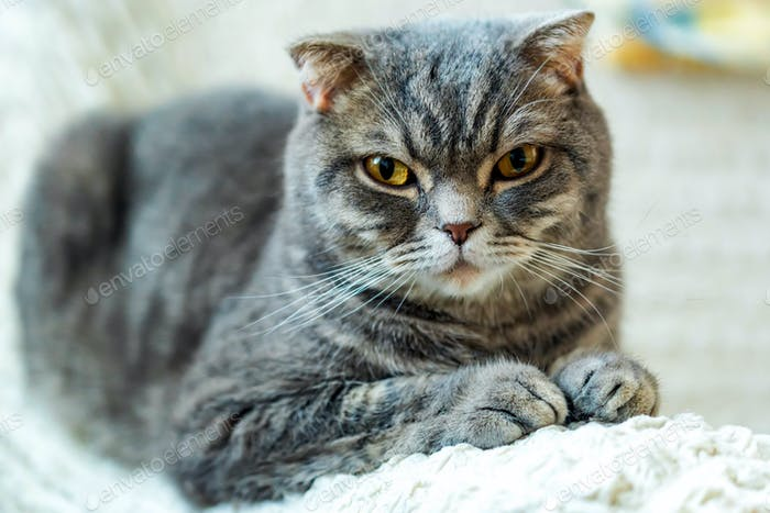 Close-up of grey British Shorthair cat portrait