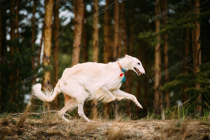White Russian Borzoi Gazehound Running In Forest