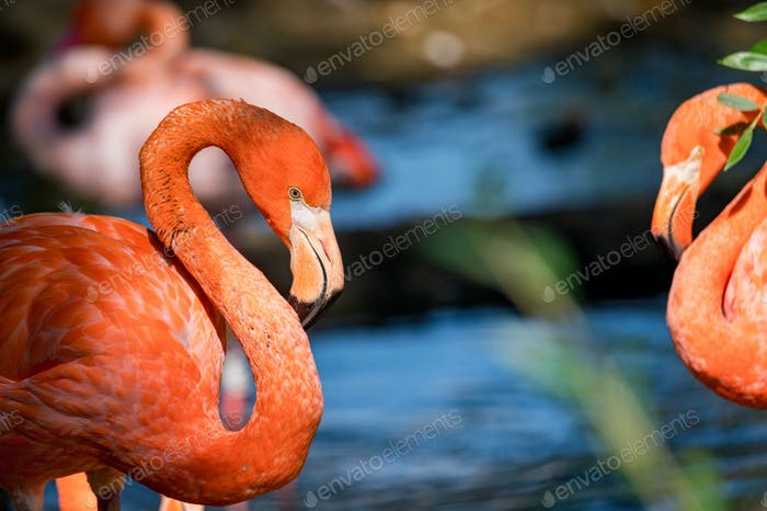 Portrait of beautiful american flamingo or Phoenicopterus ruber near water