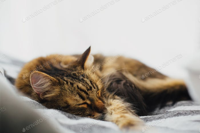 Cute tabby cat sleeping on comfortable bed