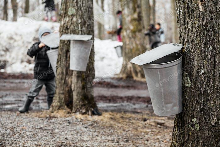 Kids lookin into the Maple Sap buckets