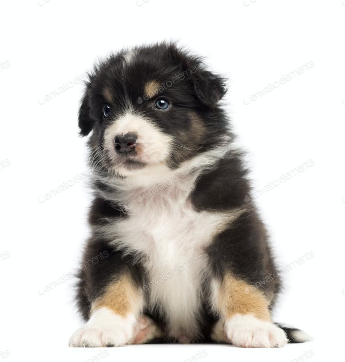 Australian Shepherd puppy, 1 months and 3 days old, sitting and looking away