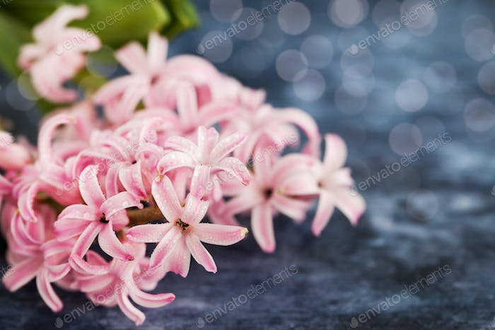 Pink beautiful hyacinth on wooden background with copy space