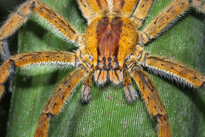 Brazilian Wandering Spider Up Close in Costa Rica
