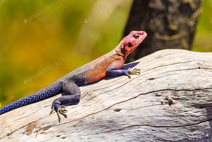 Colorfull gecko on a dead tree in Africa